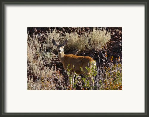 Capulon Doe Framed Print By Charles Warren