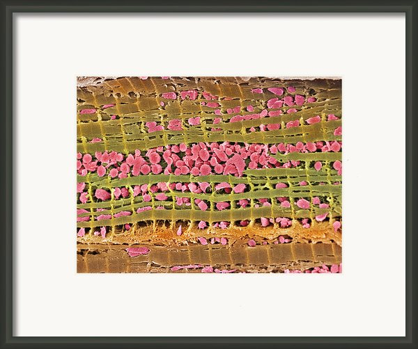 Cardiac Muscle, Sem Framed Print By Steve Gschmeissner