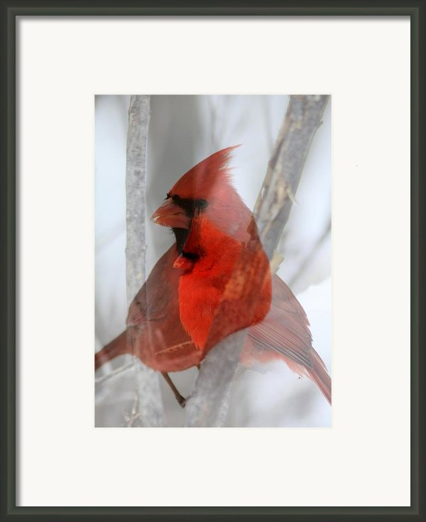Cardinal Collage Framed Print By Rick Rauzi