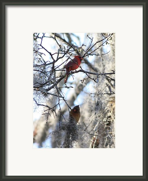 Cardinals In Mossy Tree Framed Print By Carol Groenen