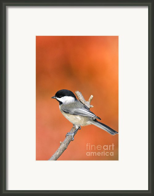 Carolina Chickadee - D007812 Framed Print By Daniel Dempster