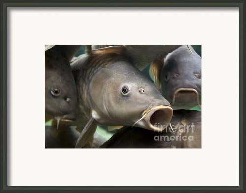 Carp Framed Print By Jane Rix