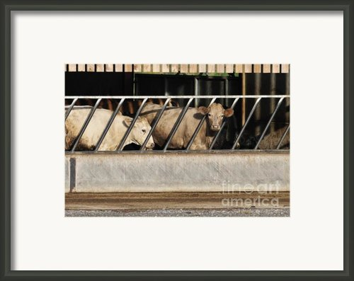 Cattle Feeding In A Barn Framed Print By Andy Smy