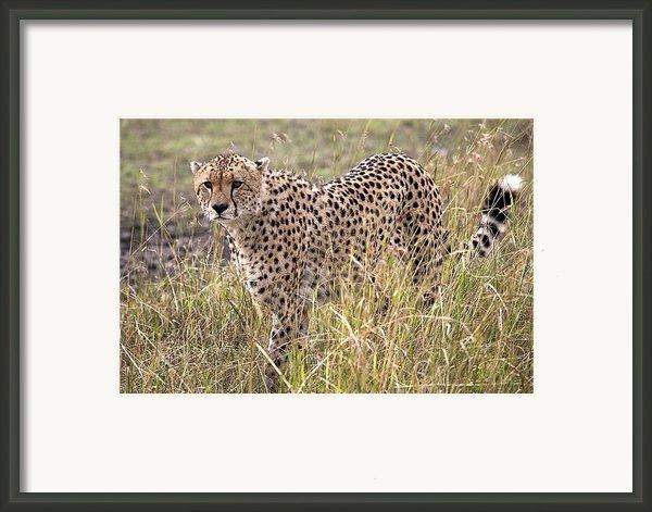 Cheetah Acinonyx Jubatus, Masai Mara Framed Print By Chris Upton