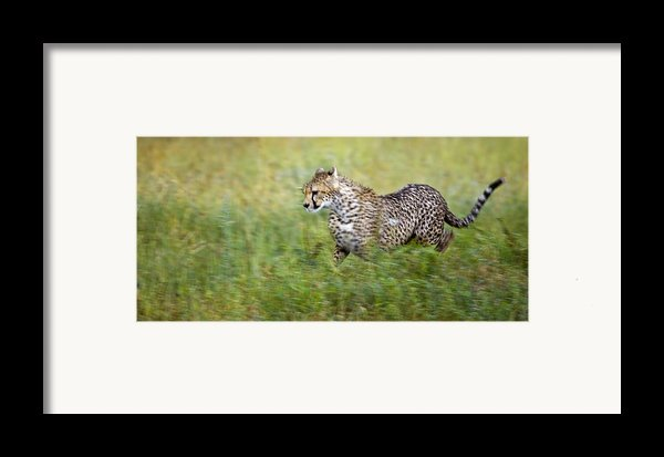 Cheetah Acinonyx Jubatus, Running Framed Print By Carson Ganci