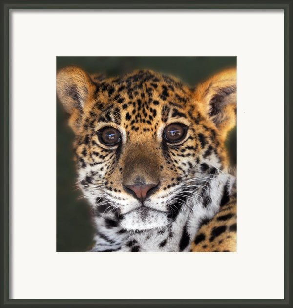 Cheetah Framed Print By Craig Incardone