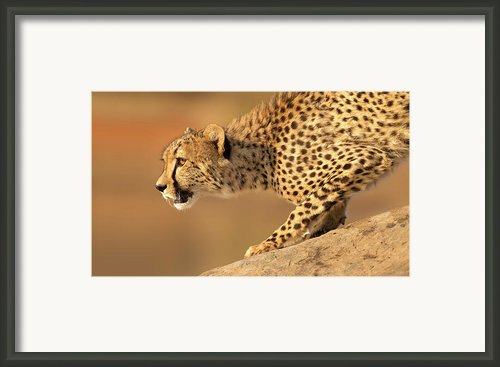 Cheetah On Rock Framed Print By Stu  Porter