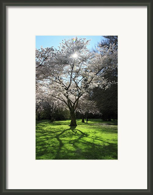 Cherry Blossom Sunshine Framed Print By Pierre Leclerc