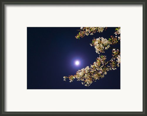 Cherry Blossoms Framed Print By Glidei7