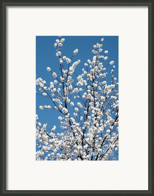 Cherry Blossoms In Julian California Framed Print By Julia Hiebaum