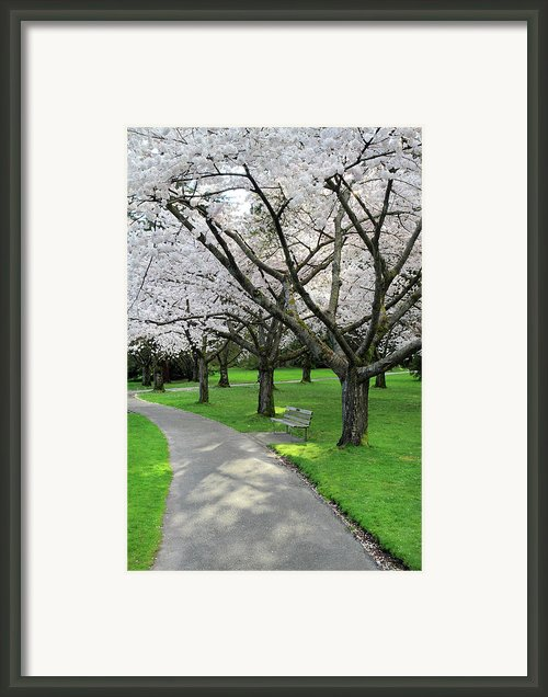 Cherry Blossoms In Stanley Park Vancouver Framed Print By Pierre Leclerc
