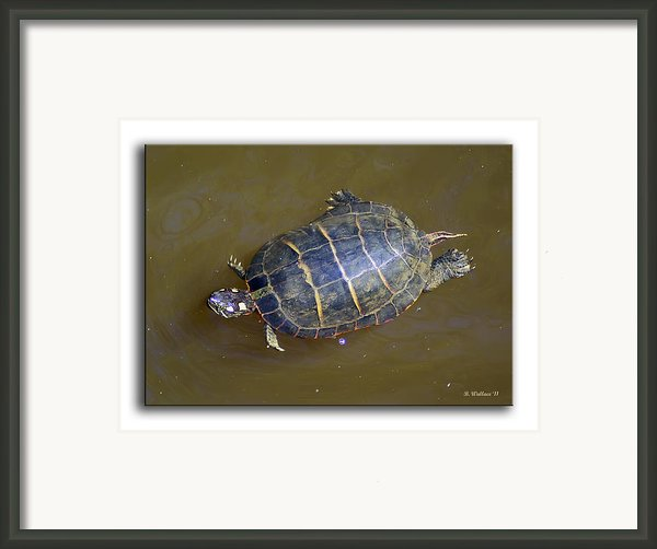 Chester River Turtle Framed Print By Brian Wallace