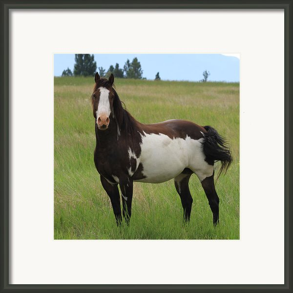 Chestnut Overo Paint Stallion Framed Print By Karon Melillo Devega