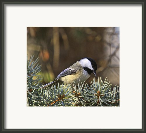 Chickadee-10 Framed Print By Robert Pearson