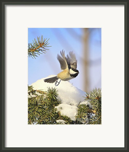 Chickadee-13 Framed Print By Robert Pearson