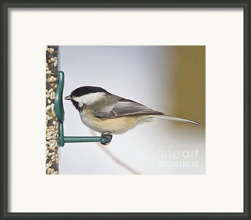 Chickadee-4 Framed Print By Robert Pearson