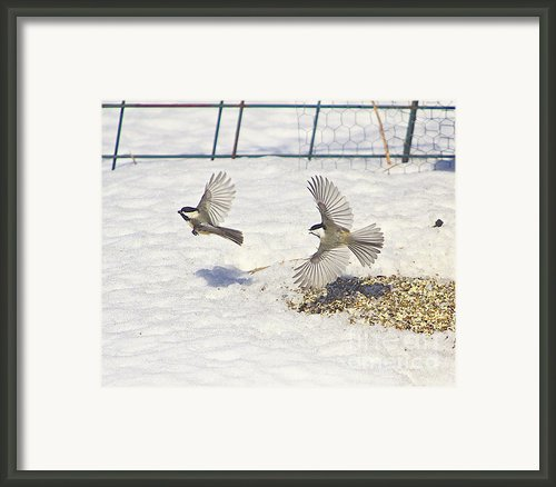 Chickadee-6 Framed Print By Robert Pearson