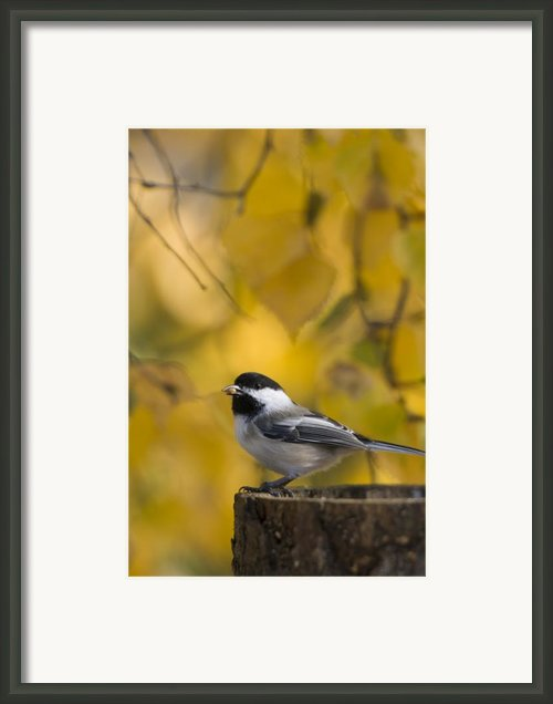 Chickadee On A Log Framed Print By Tim Grams