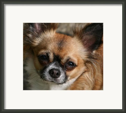 Chihuahua Eyes Framed Print By Valia Bradshaw