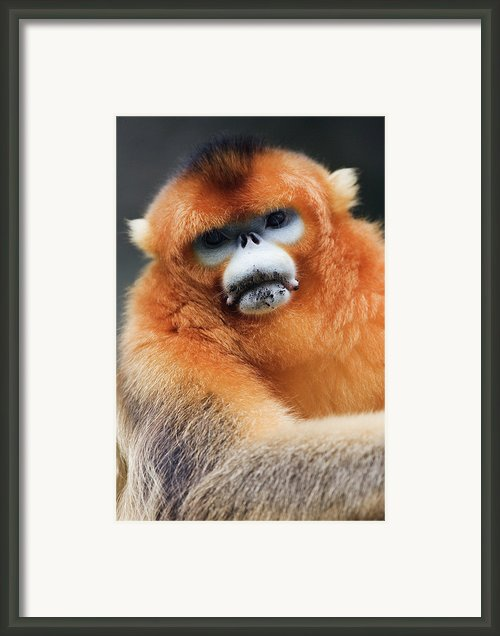 China, Shaanxi Province, Golden Monkey (rhinopithecus Roxellana ) Framed Print By Jeremy Woodhouse