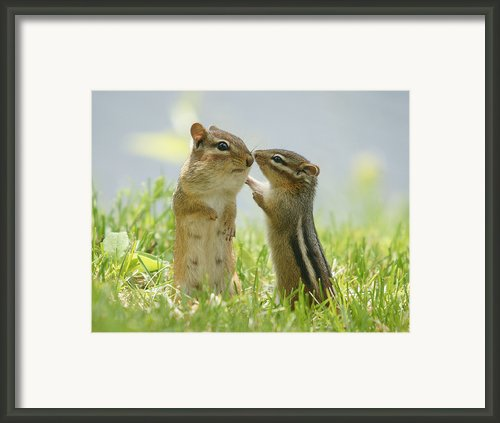 Chipmunks In Grasses Framed Print By Corinne Lamontagne