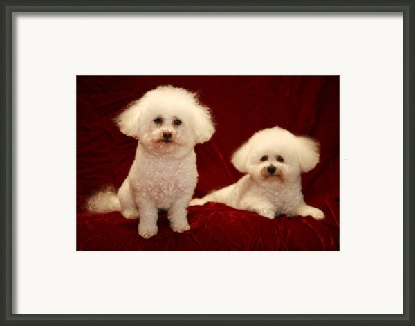 Chloe And Jolie The Bichon Frises Framed Print By Michael Ledray