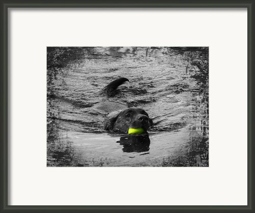 Chocolate Lab Framed Print By Ms Judi