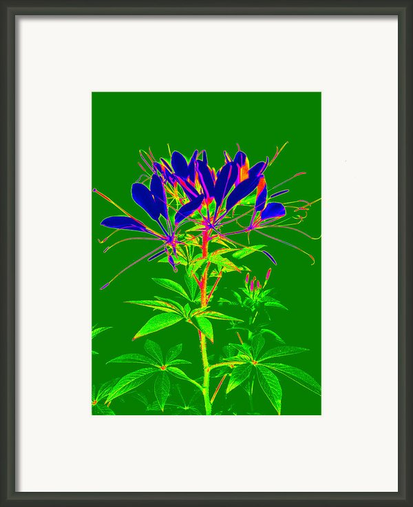 Cleome Gone Abstract Framed Print By Kim Galluzzo Wozniak