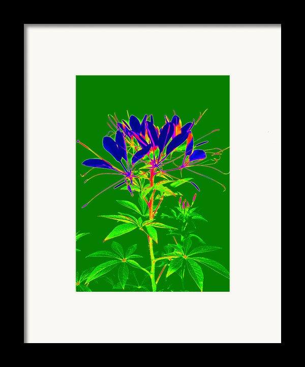 Cleome Gone Abstract Framed Print By Kim Galluzzo Wozniak