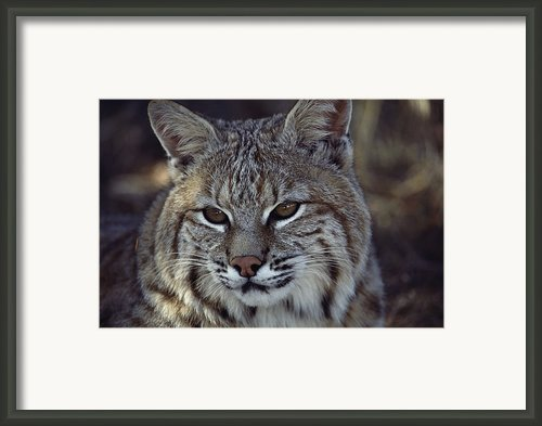 Close-up Of A Bobcat Framed Print By Dr. Maurice G. Hornocker