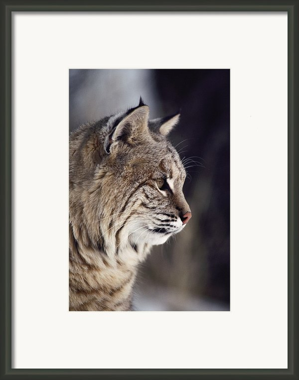 Close-up Of A Bobcat Felis Rufus Framed Print By Dr. Maurice G. Hornocker