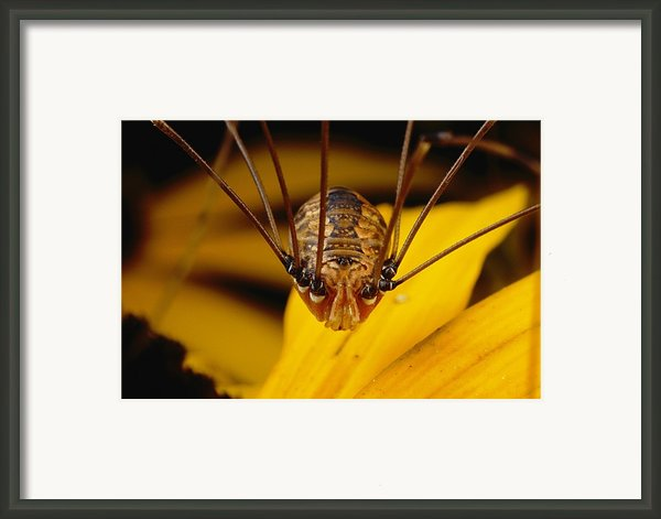 Close View Of A Daddy Longlegs Framed Print By Darlyne A. Murawski