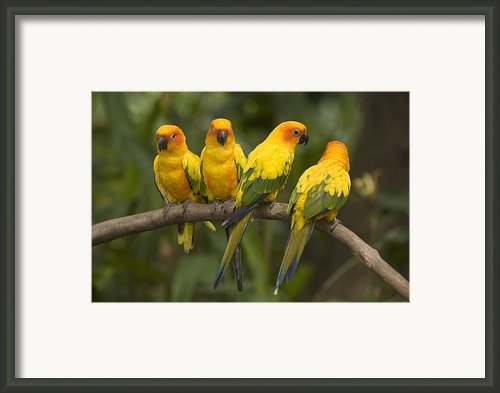 Closeup Of Four Captive Sun Parakeets Framed Print By Tim Laman