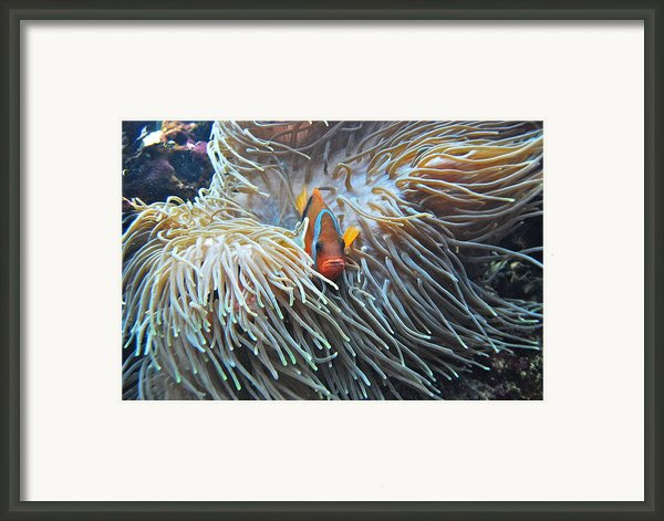 Clown Fish Framed Print By Michael Peychich