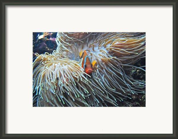 Clown Fish Framed Print By Michael Peychich