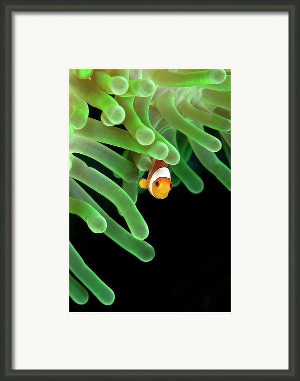 Clownfish On Green Anemone Framed Print By Alastair Pollock Photography
