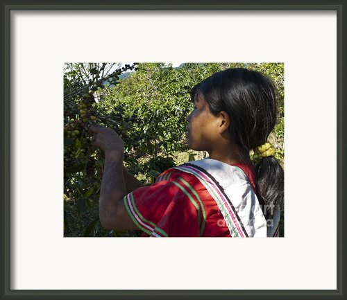 Coffee Harvest Time 3 Framed Print By Heiko Koehrer-wagner