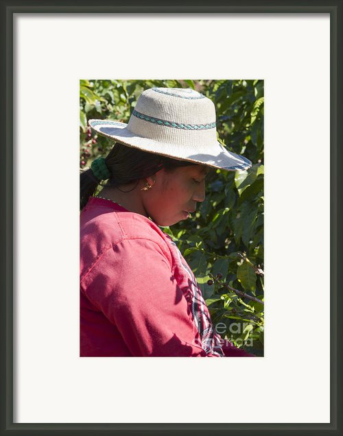 Coffee Harvest Time Framed Print By Heiko Koehrer-wagner