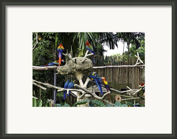 Colorful Birds On A Branch Inside The Jurong Bird Park In Singap Framed Print By Ashish Agarwal