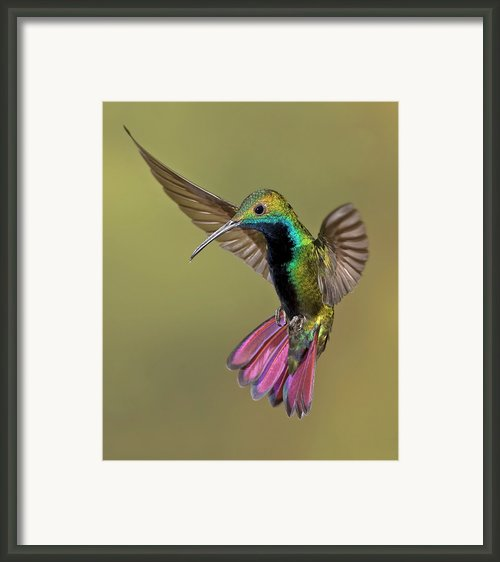 Colorful Humming Bird Framed Print By Image By David G Hemmings