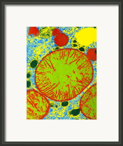 Coloured Tem Of Mammalian Mitochondria Framed Print By Dr Gopal Murti