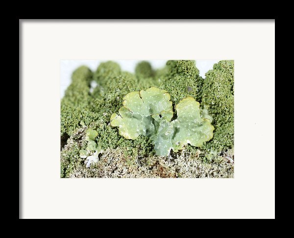 Common Greenshield Lichen Framed Print By Ted Kinsman