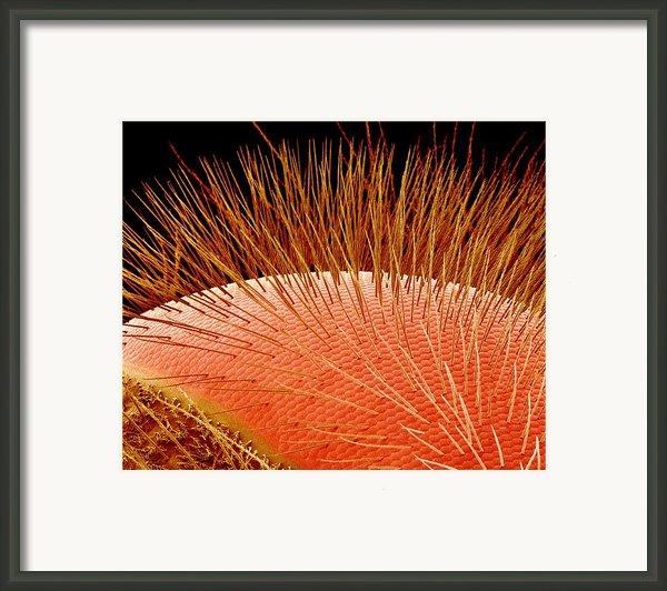 Compound Eye Of A Bee, Sem Framed Print By Susumu Nishinaga