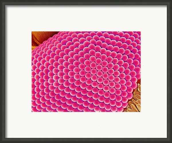 Compound Eye Of A Mosquito, Sem Framed Print By Susumu Nishinaga