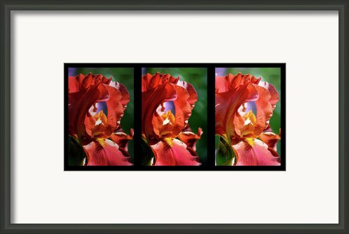 Copper Iris Triptych  Framed Print By Teresa Mucha