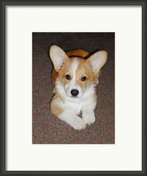 Corgi Puppy Lying Down Framed Print By Laurie With