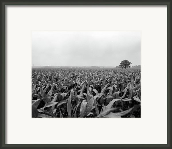 Corn Flakes On The Stem Framed Print By Jan Faul