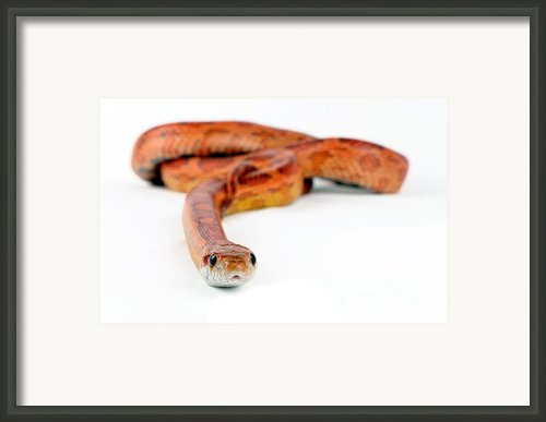 Corn Snake Framed Print By Mark Johnson