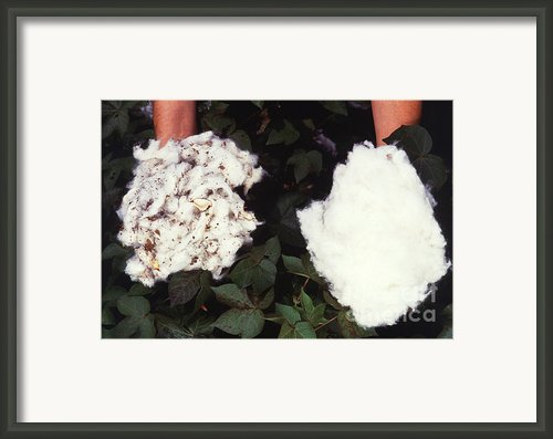 Cotton Comparison Framed Print By Photo Researchers