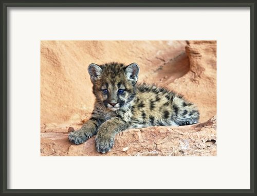 Cougar Kitten Resting Framed Print By Melody And Michael Watson